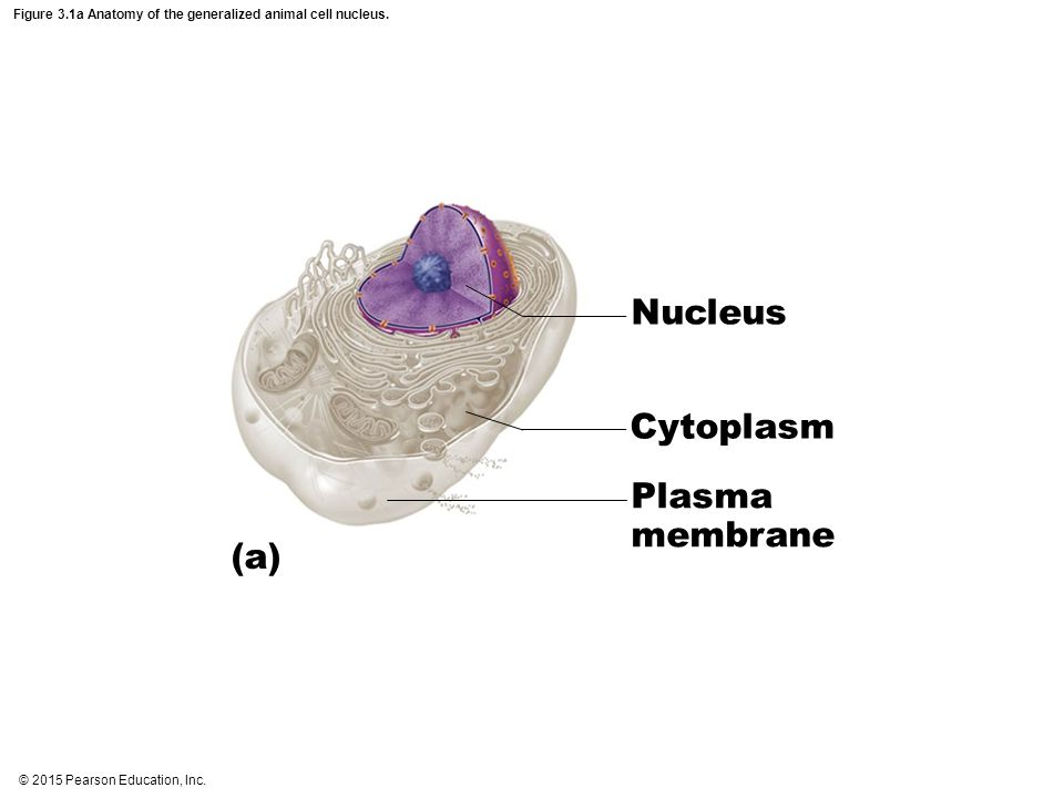 Figure 3.1a Anatomy of the generalized animal cell nucleus.