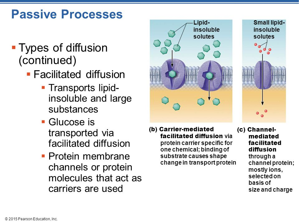 Passive Processes Types of diffusion (continued) Facilitated diffusion