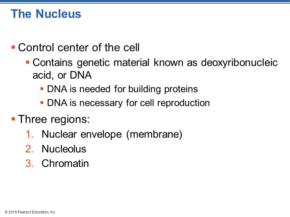 The Nucleus Control center of the cell Three regions: