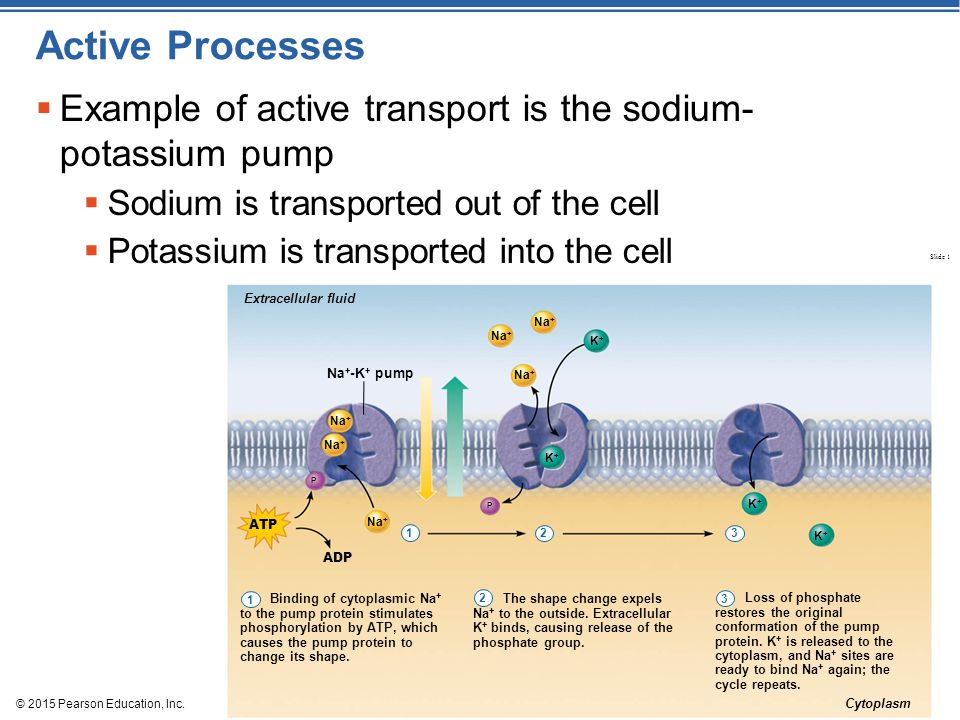 Active Processes Example of active transport is the sodium- potassium pump. Sodium is transported out of the cell.