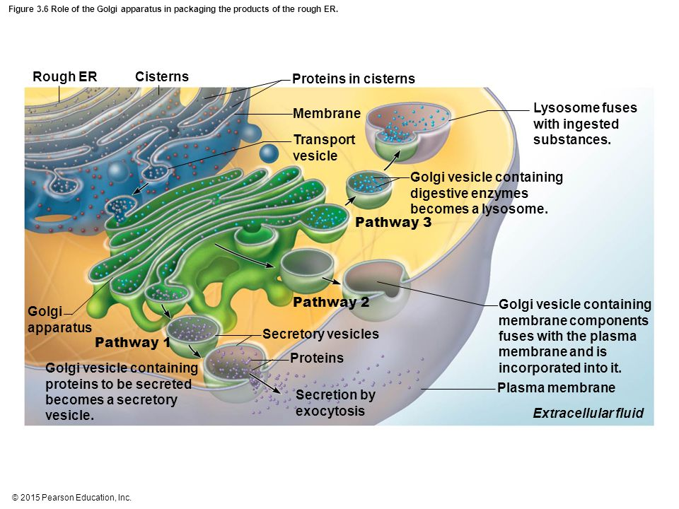 Lysosome fuses with ingested substances. Membrane