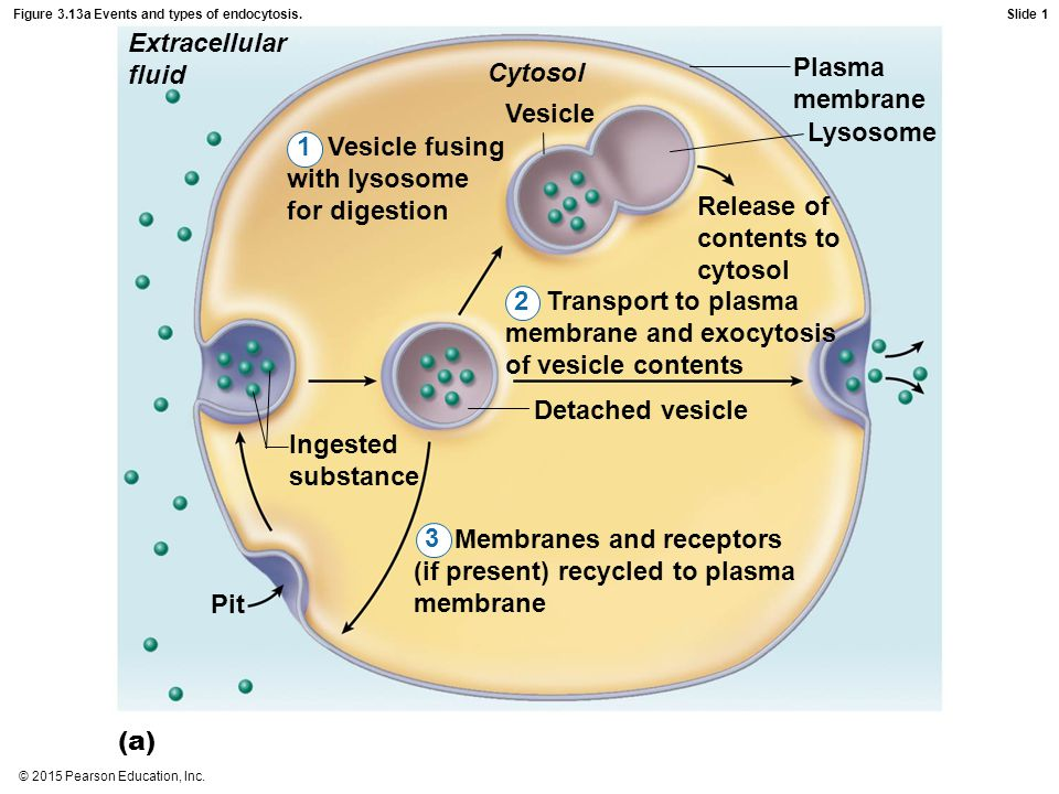 Figure 3.13a Events and types of endocytosis.
