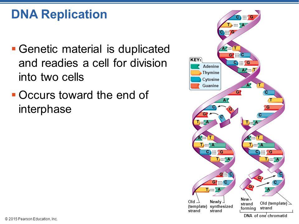 DNA Replication KEY: Adenine. Thymine. Cytosine. Guanine. Old (template) strand. Newly synthesized strand.