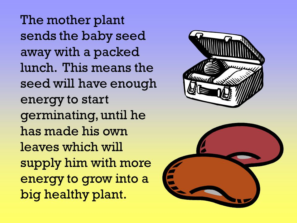 The mother plant sends the baby seed away with a packed lunch