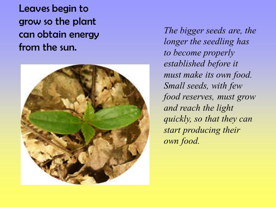 Leaves begin to grow so the plant can obtain energy from the sun.