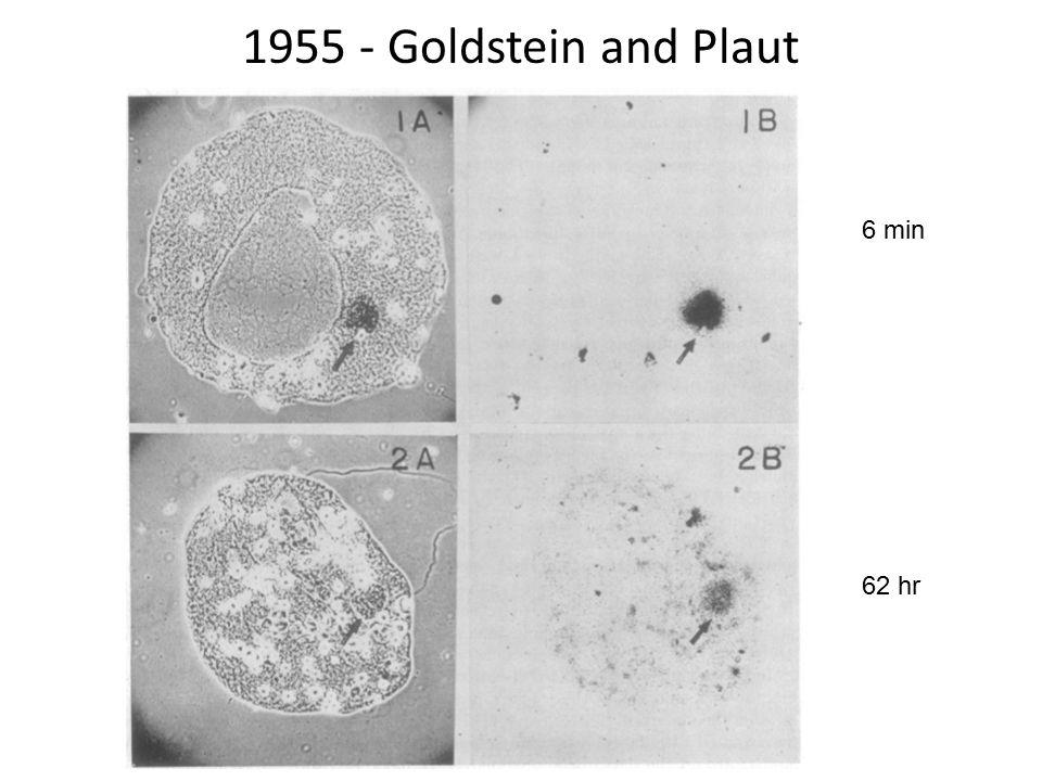 1955 - Goldstein and Plaut 6 min 62 hr