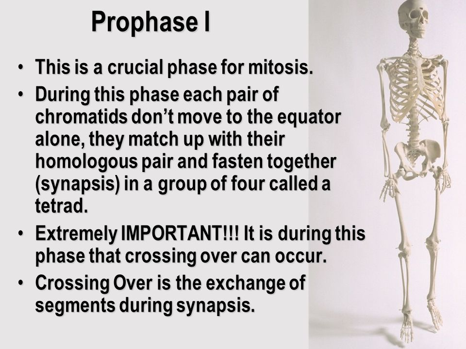 Prophase I This is a crucial phase for mitosis.