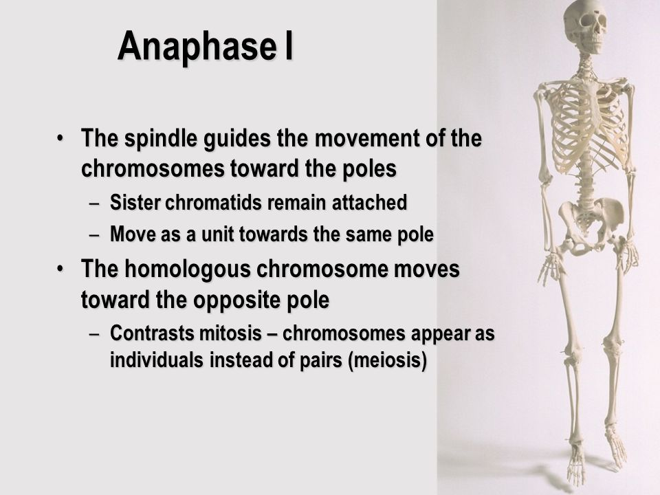 Anaphase I The spindle guides the movement of the chromosomes toward the poles. Sister chromatids remain attached.