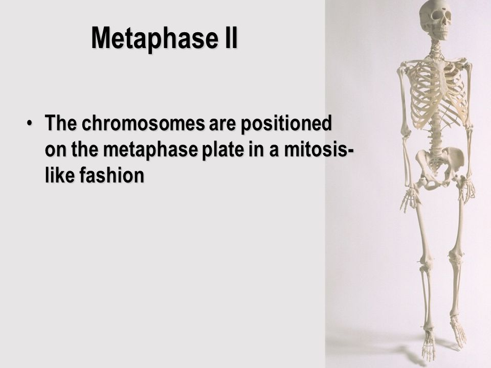 Metaphase II The chromosomes are positioned on the metaphase plate in a mitosis-like fashion