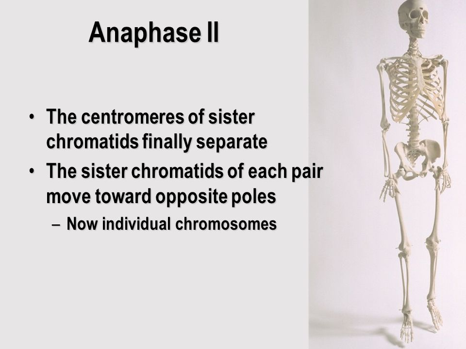 Anaphase II The centromeres of sister chromatids finally separate