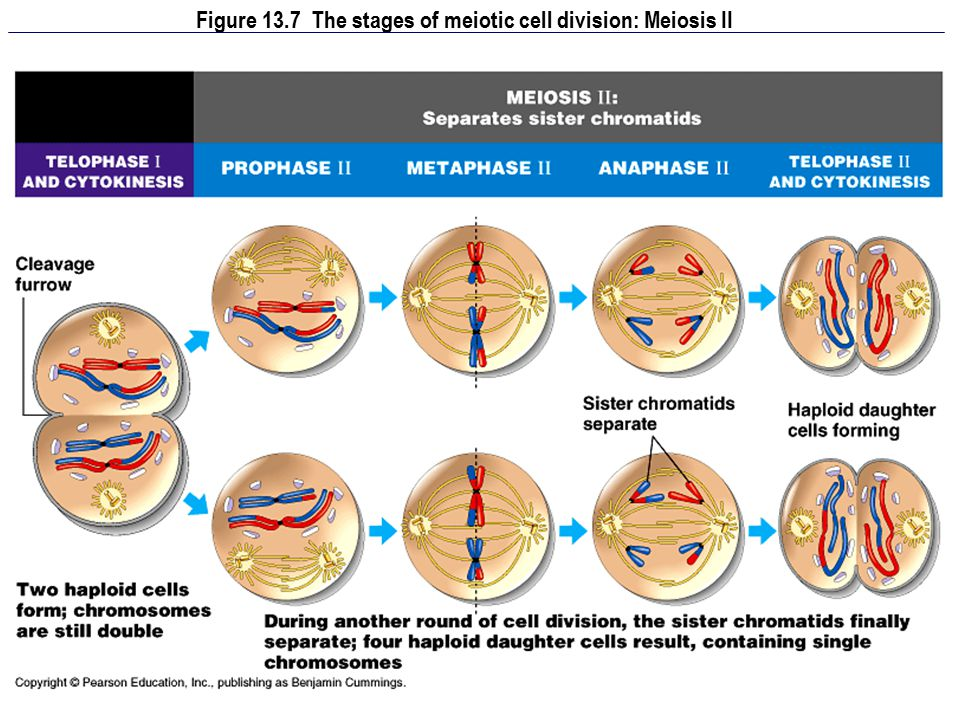 Figure 13.7 The stages of meiotic cell division: Meiosis II