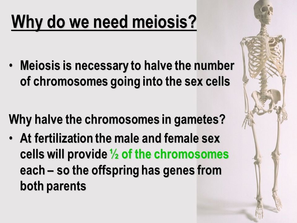 Why do we need meiosis Meiosis is necessary to halve the number of chromosomes going into the sex cells.