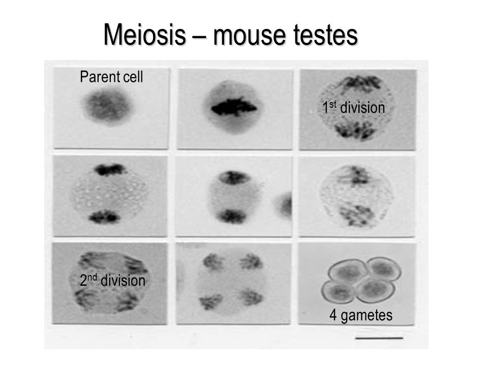 Meiosis – mouse testes Parent cell 1st division 2nd division 4 gametes