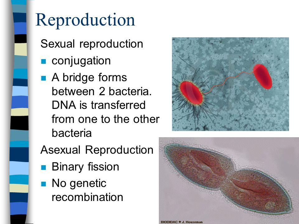 Reproduction Sexual reproduction conjugation