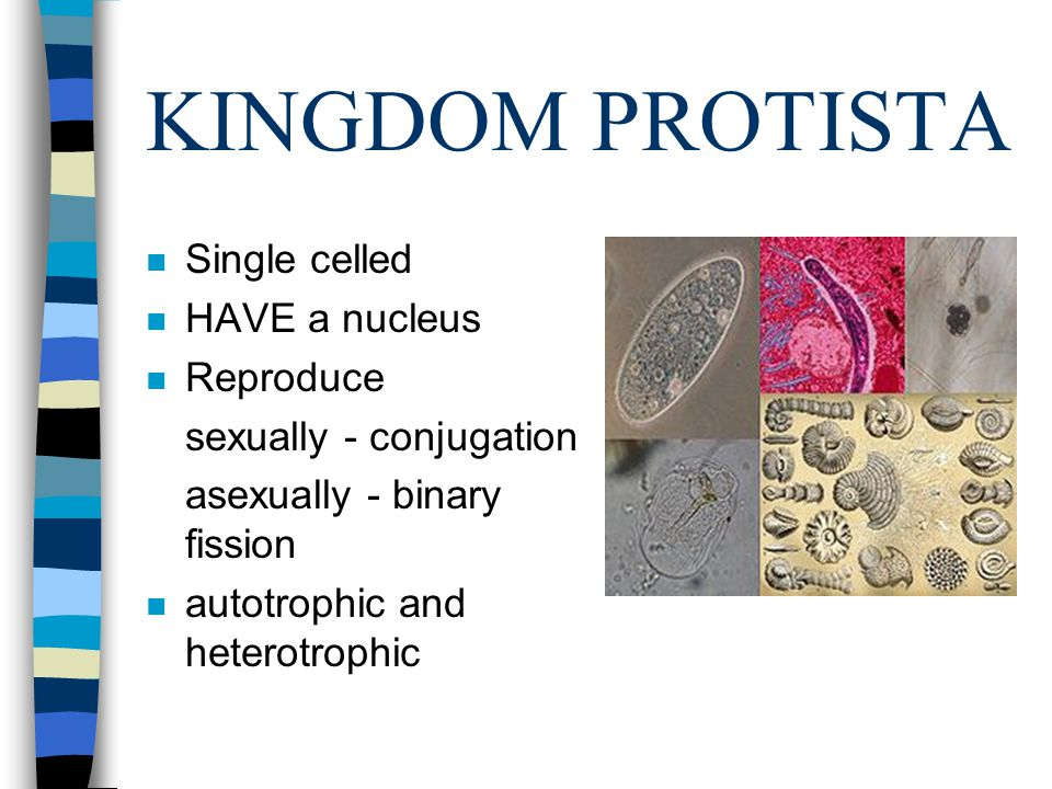 KINGDOM PROTISTA Single celled HAVE a nucleus Reproduce