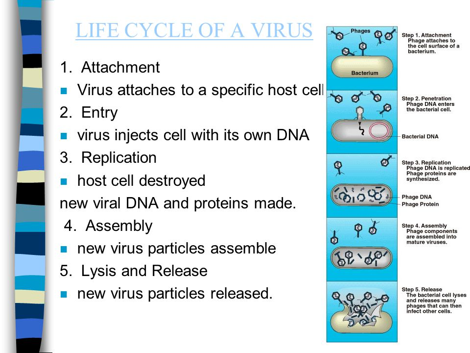 LIFE CYCLE OF A VIRUS 1. Attachment