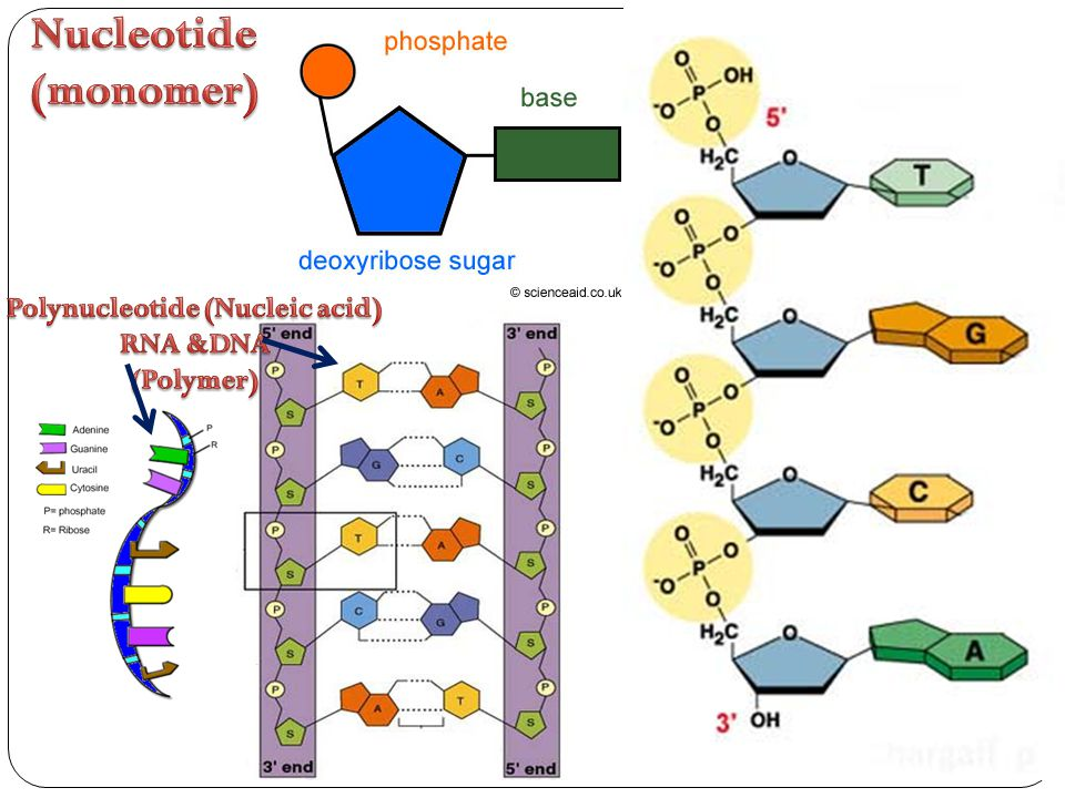 Polynucleotide (Nucleic acid)