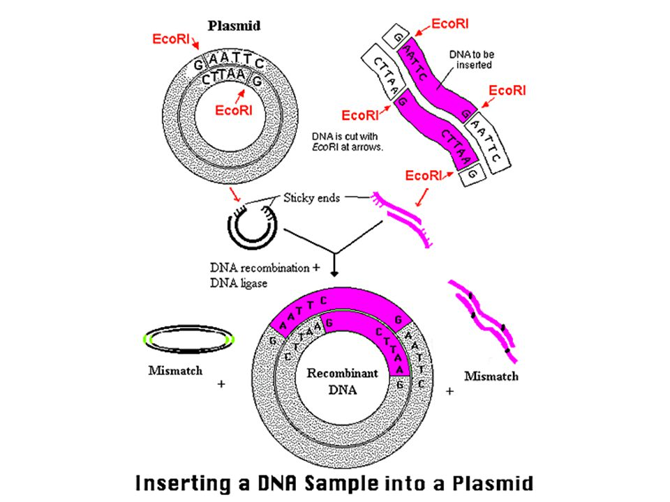 From http://www.bio.davidson.edu/Courses/Molbio/MolStudents/spring2003/Keogh/plasmids.html#basicplasm.