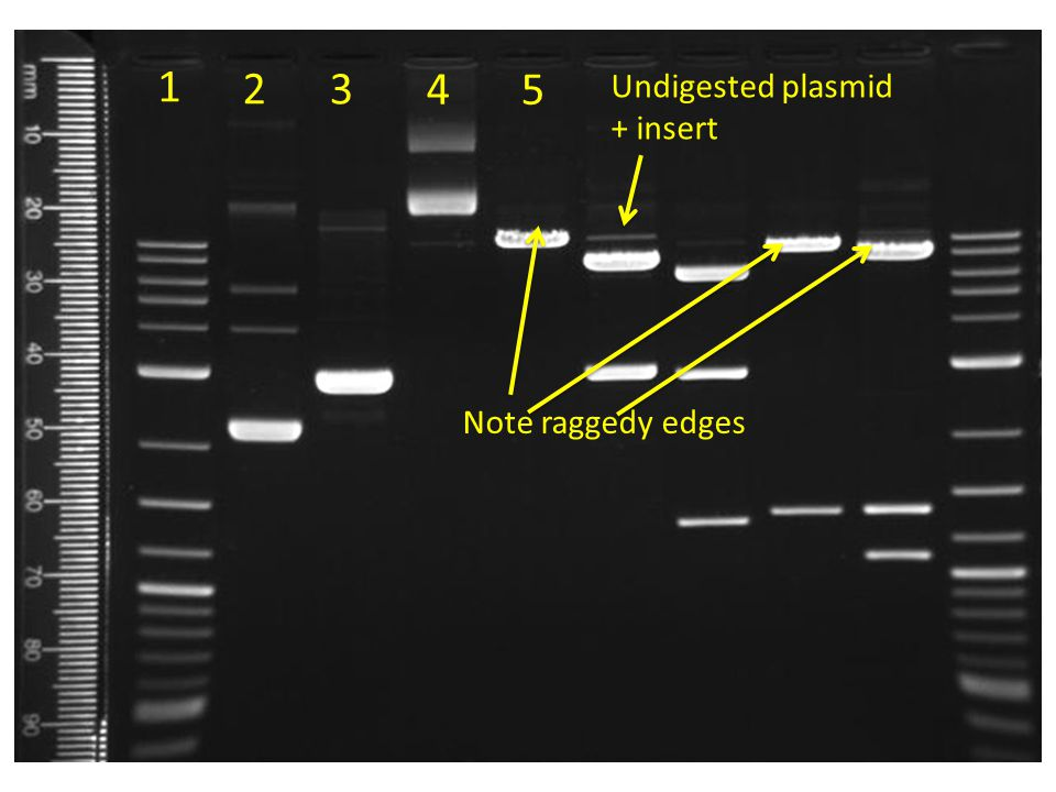 1 2 3 4 5 Undigested plasmid + insert Note raggedy edges