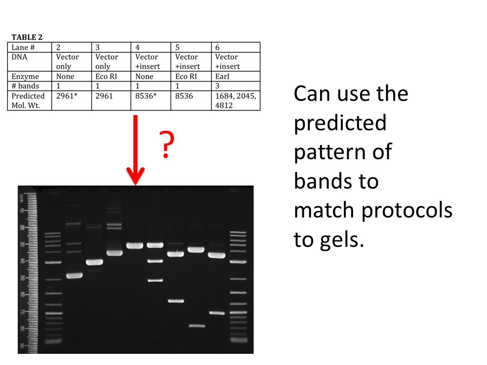 Can use the predicted pattern of bands to match protocols to gels.