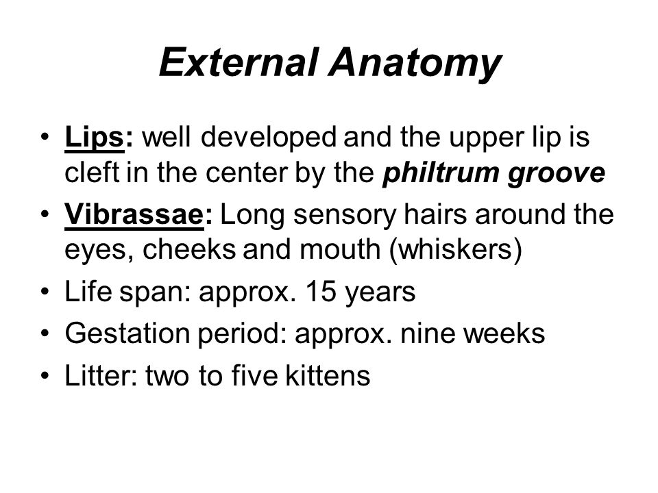 External Anatomy Lips: well developed and the upper lip is cleft in the center by the philtrum groove.