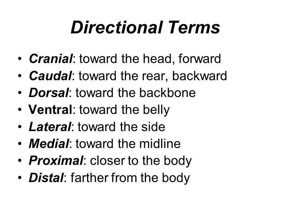 Directional Terms Cranial: toward the head, forward