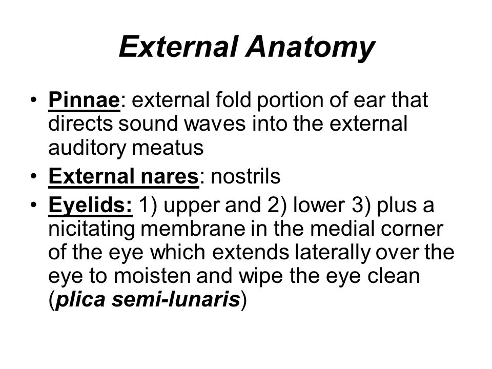 External Anatomy Pinnae: external fold portion of ear that directs sound waves into the external auditory meatus.