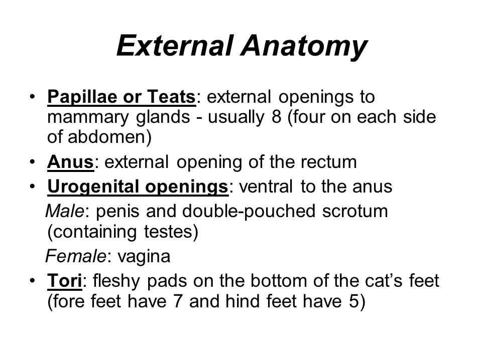 External Anatomy Papillae or Teats: external openings to mammary glands - usually 8 (four on each side of abdomen)