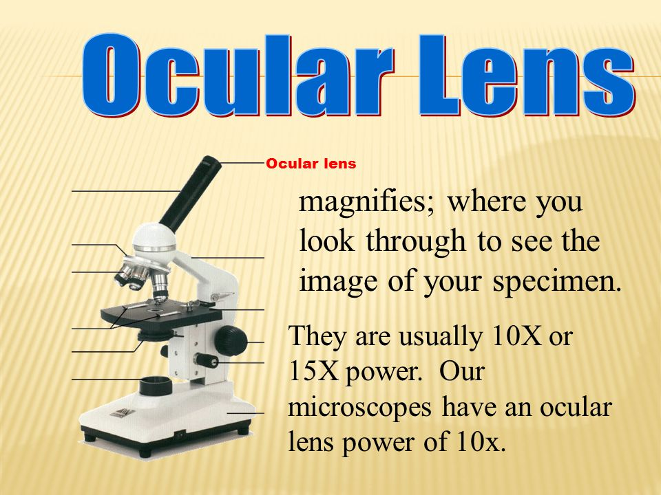 magnifies; where you look through to see the image of your specimen.