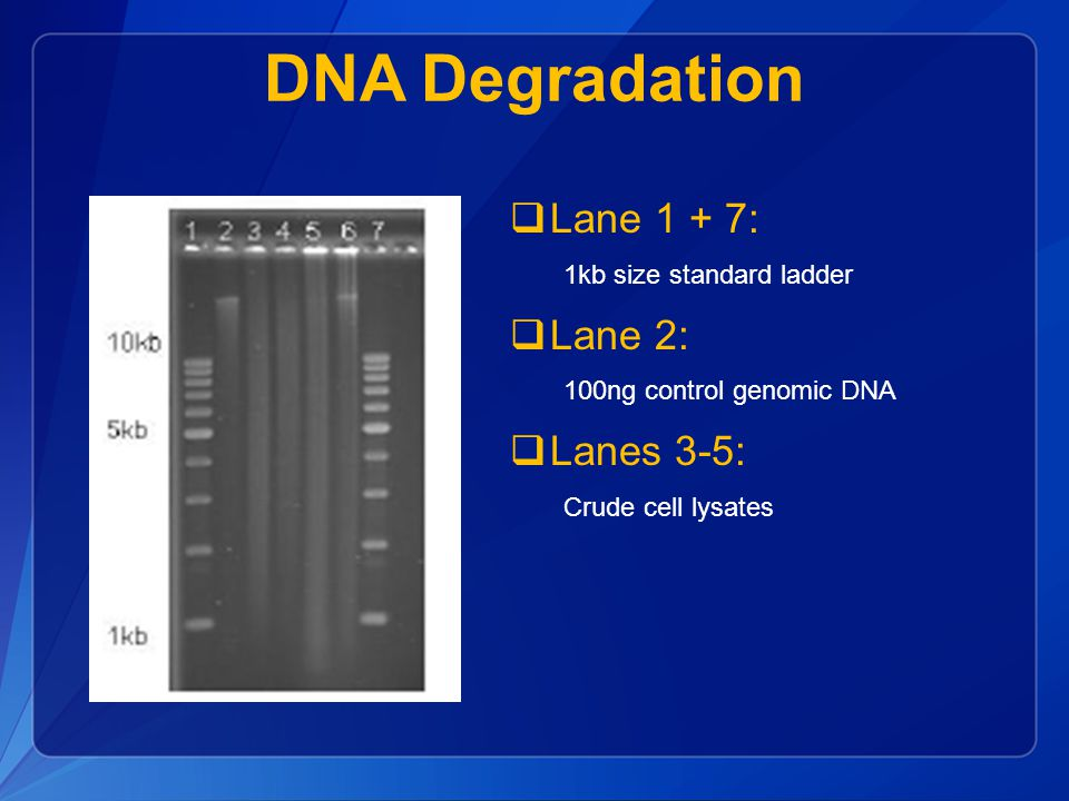 DNA Degradation Lane 1 + 7: Lane 2: Lanes 3-5: