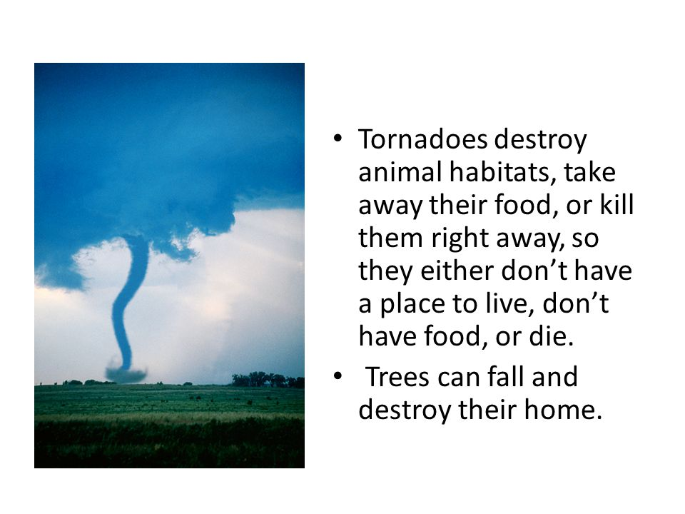Tornadoes destroy animal habitats, take away their food, or kill them right away, so they either don't have a place to live, don't have food, or die.