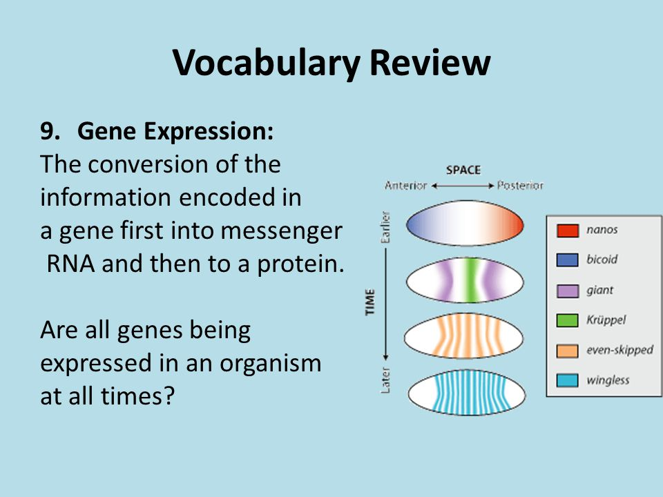 Vocabulary Review Gene Expression: The conversion of the