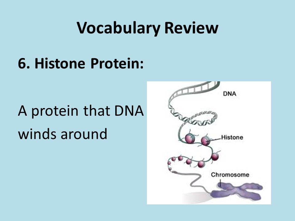 Vocabulary Review Histone Protein: A protein that DNA winds around