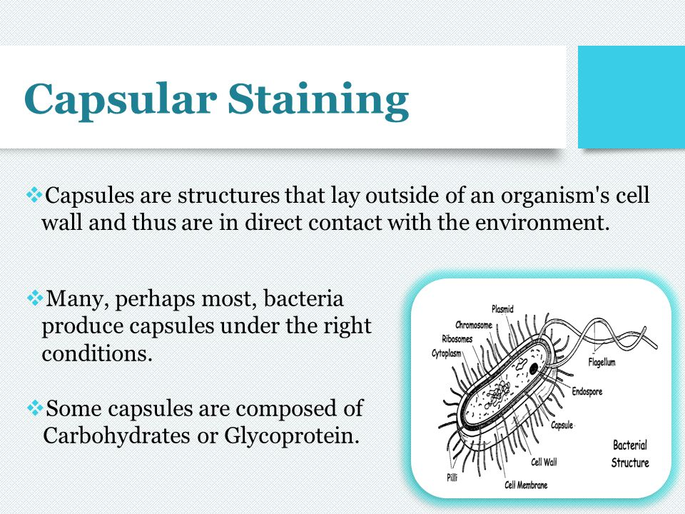 Capsular Staining Capsules are structures that lay outside of an organism s cell wall and thus are in direct contact with the environment.