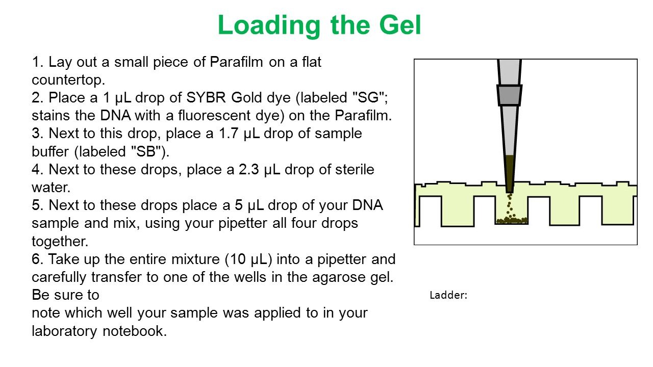 Loading the Gel 1. Lay out a small piece of Parafilm on a flat countertop.