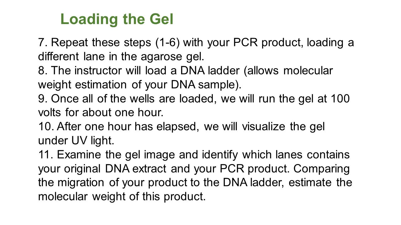 Loading the Gel 7. Repeat these steps (1-6) with your PCR product, loading a different lane in the agarose gel.