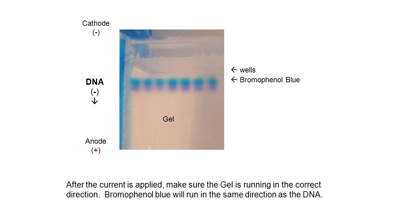 Cathode (-)  wells. DNA. (-)   Bromophenol Blue. Gel. Anode. (+)