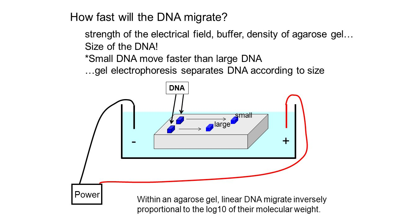 + - How fast will the DNA migrate