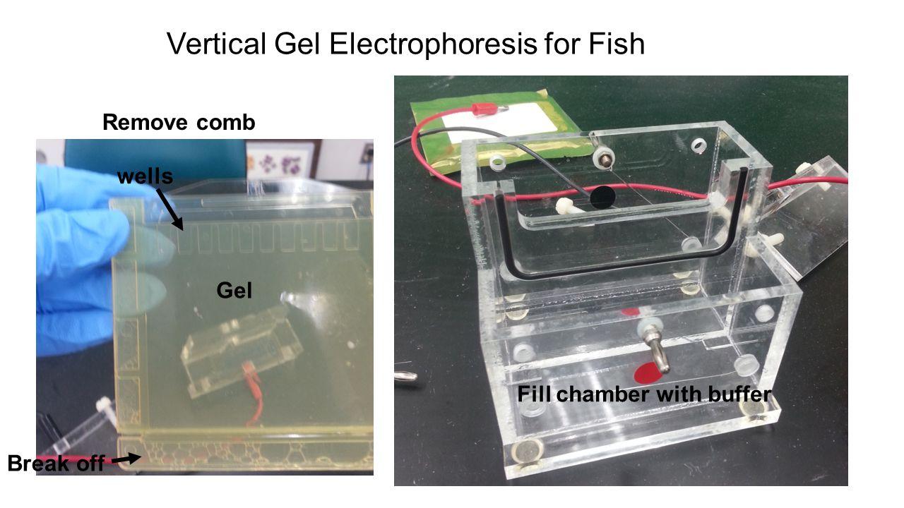 Vertical Gel Electrophoresis for Fish
