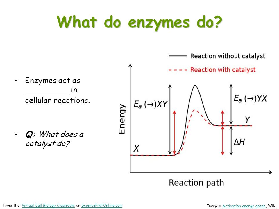 What do enzymes do Enzymes act as _________ in cellular reactions.