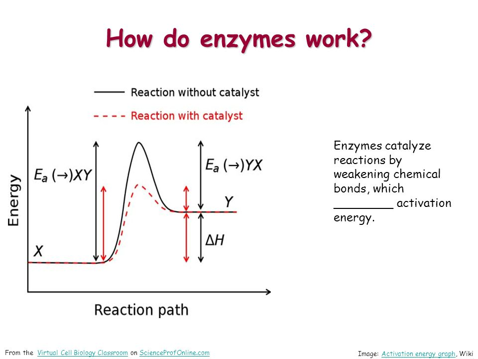 How do enzymes work Enzymes catalyze reactions by weakening chemical bonds, which ________ activation energy.