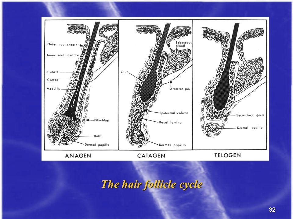 The hair follicle cycle