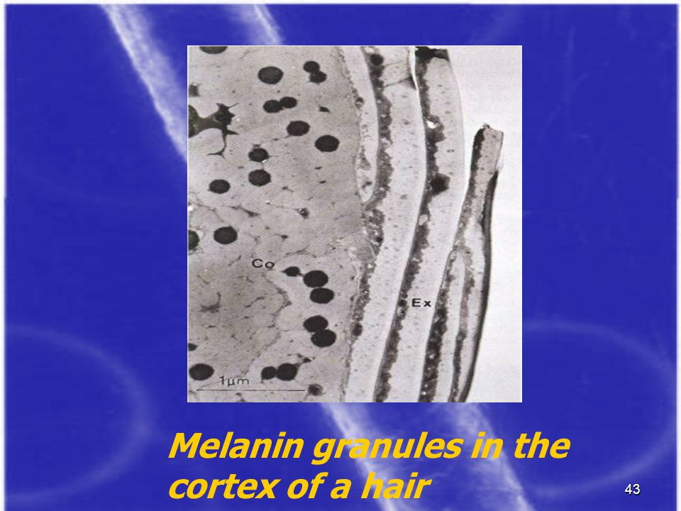 Melanin granules in the cortex of a hair