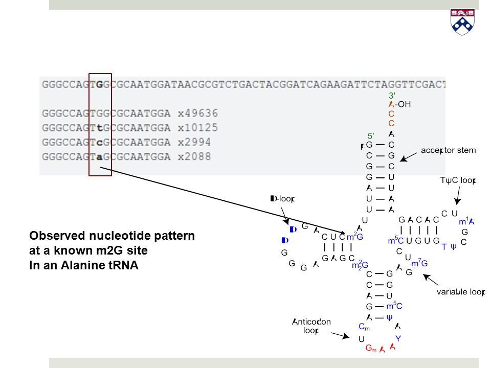 Observed nucleotide pattern at a known m2G site