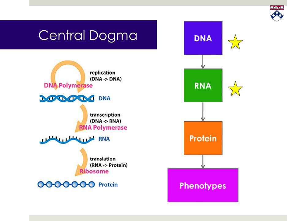 Central Dogma DNA RNA Protein Phenotypes