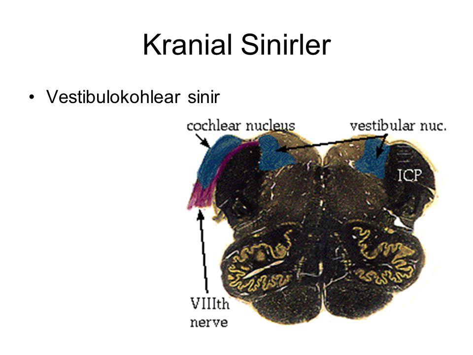 Kranial Sinirler Vestibulokohlear sinir