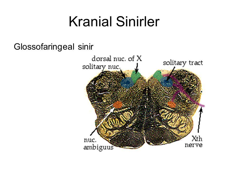 Kranial Sinirler Glossofaringeal sinir