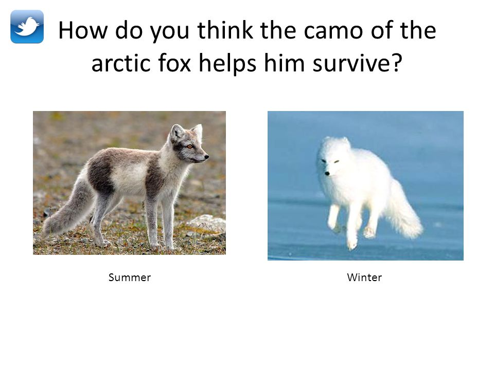 How do you think the camo of the arctic fox helps him survive