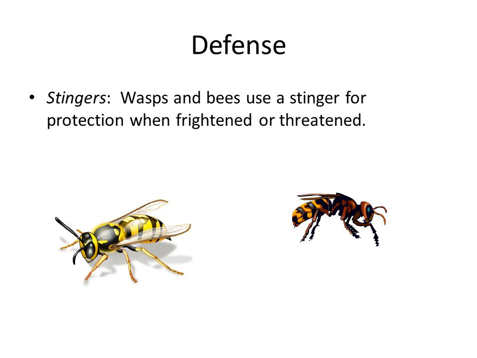 Defense Stingers: Wasps and bees use a stinger for protection when frightened or threatened.