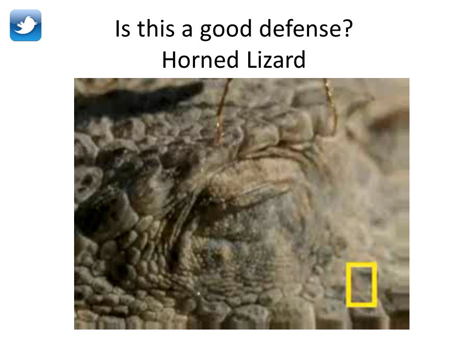 Is this a good defense Horned Lizard